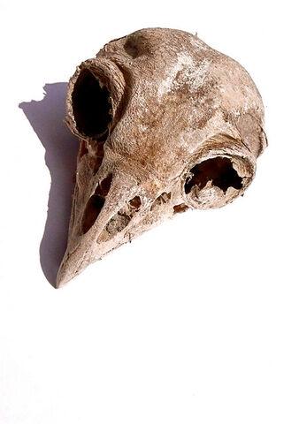 File:Bird skull.jpg