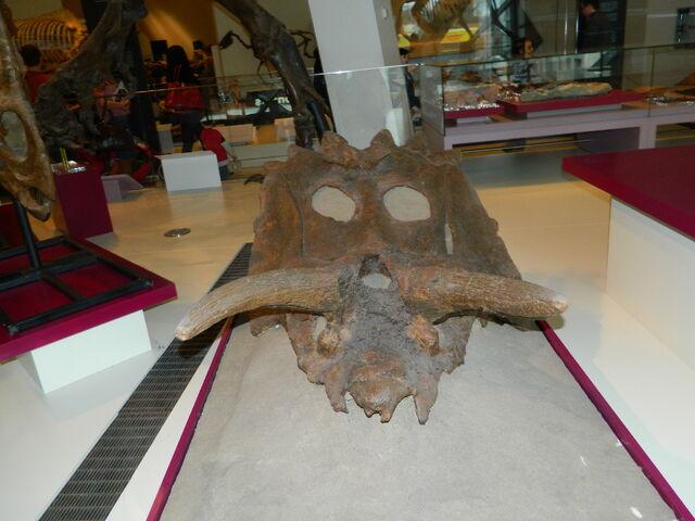File:Anchiceratops.JPG