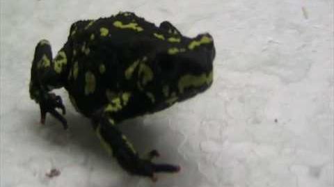 M. stelzneri close up video
