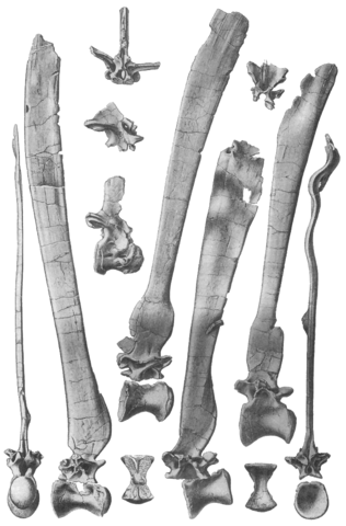 File:Spinosaurus vertebrae.png