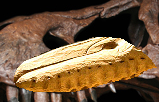 File:Rexaegyptiacus.png