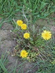 300px-Paardenbloem herbicide schade (Taraxacum officinale herbicide damage)