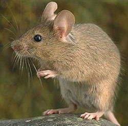 File:Rodent-House-Mouse.jpg