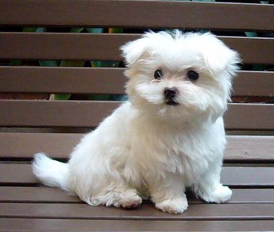 File:1277481636 101884228 2-Maltese-Puppy-for-sale-Long-Beach.jpg