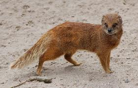 File:A mongoose.jpg