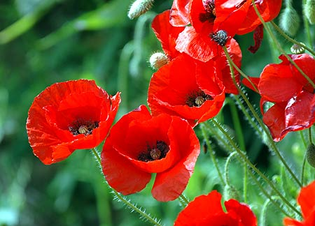 File:Poppies-May04-D0033sAR.jpg