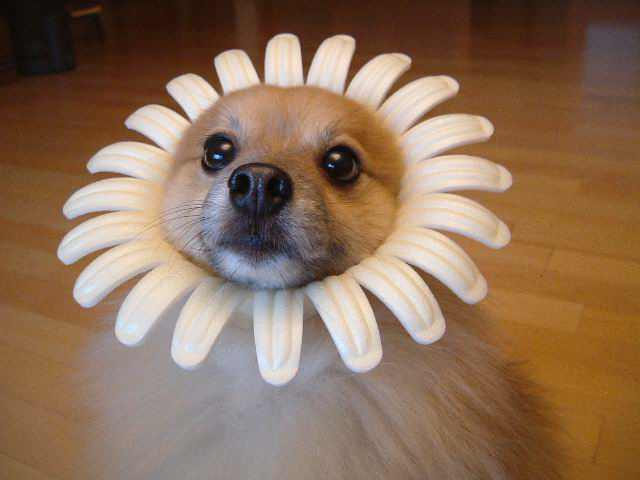 File:Dogflower lol.jpg