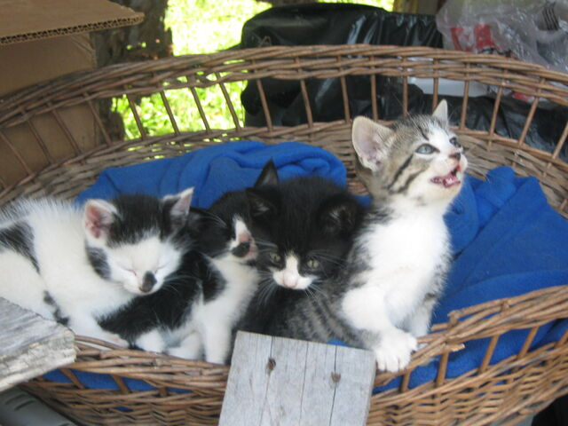 File:Mollys first batch of kitten 3.jpg