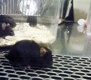NOD mice