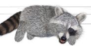 Raccoon facepalm