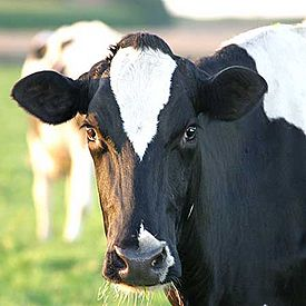 File:275px-Dairy Cow.jpg