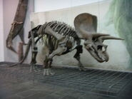Frankfurt Triceratops Skeleton