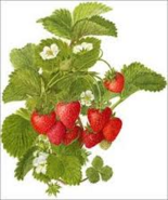 Strawberry bush