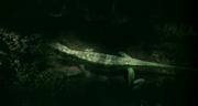 Petrolacosaurus 2