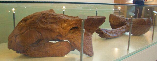 File:Ankylosaurus magniventris.jpg