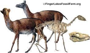 Poebrotherium