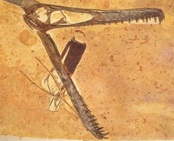 File:Ludodactylus skull.jpg