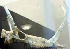 Synthetoceras tricoronatus.jpg
