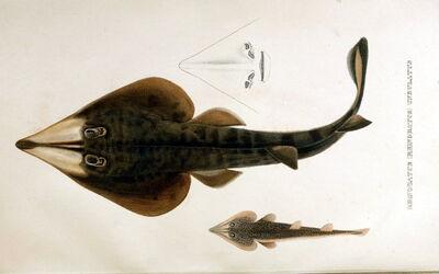 Rhinobatos percellens