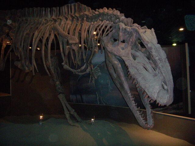 File:Giganotosauro di Arezzo.JPG