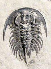 Zacanthoides