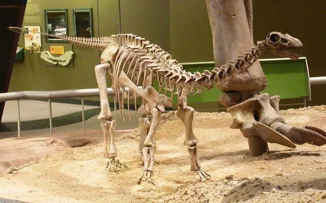 File:Baby Apatosaurus OMNH.jpg