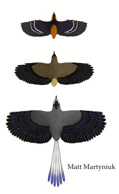 Incolornis