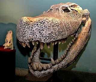 Giant caiman skull