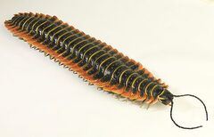 ArthropleuraInfobox.jpg