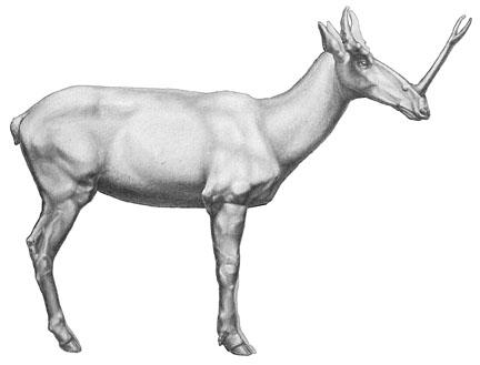 File:Prosynthetoceras.jpg