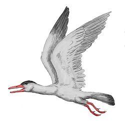 Iaceornis
