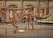 Kentrosaurus skeleton