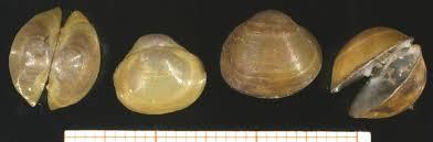 Sphaerium