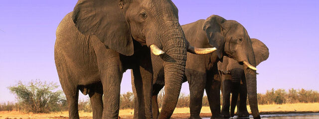 File:Elephants 8.1.2012 hero and circle SCR 48342.jpg