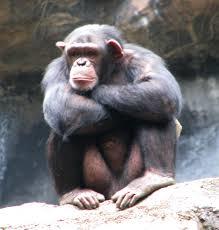 File:Chimp new.png