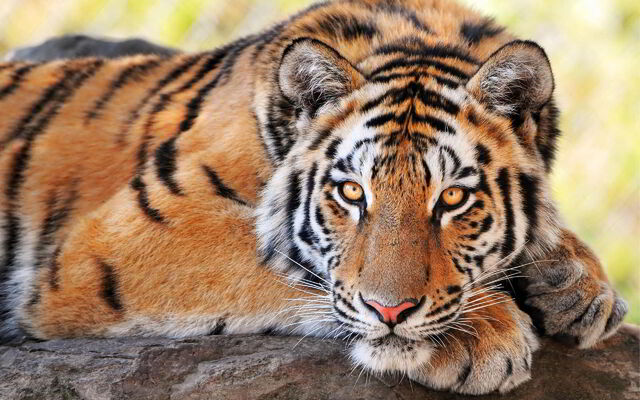 File:Beautiful-Tiger.jpg