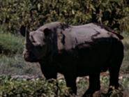 22. Black Rhinoceros