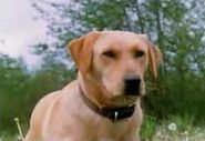 Luath the Labrador Retriever