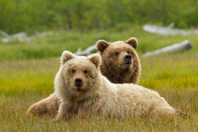 File:Bears-movie-disneynature.jpg