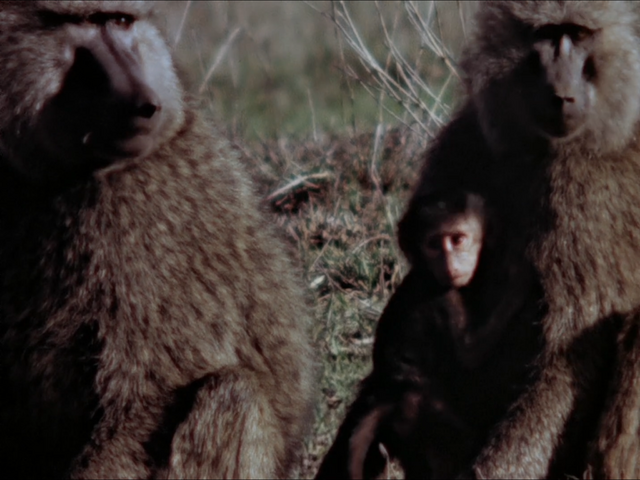 File:11. Olive Baboon.PNG