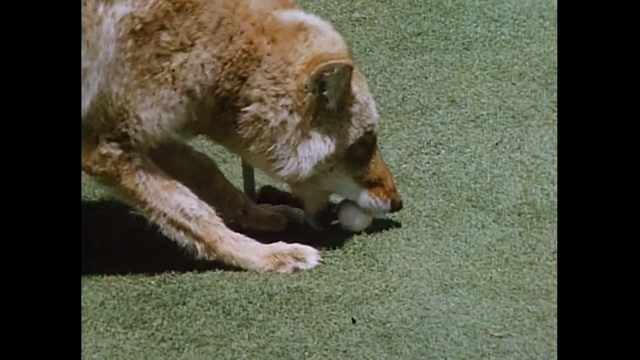 File:Coyote with ball.png