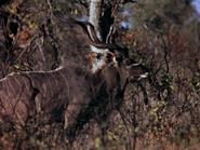 7. Greater Kudu