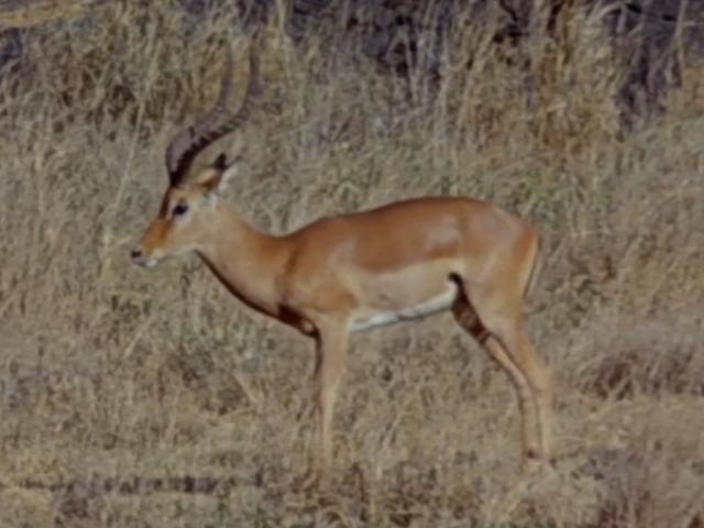 File:12. Impala.PNG
