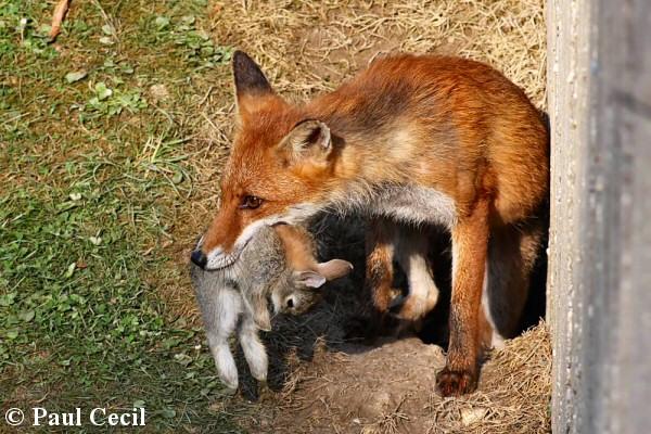 File:Red fox 25.jpg