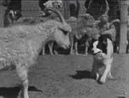 Arizona sheepdog herding2 360x275-opt