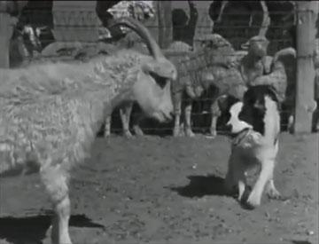 File:Arizona sheepdog herding2 360x275-opt.jpg
