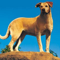 File:Old Yeller pic. 43.jpg