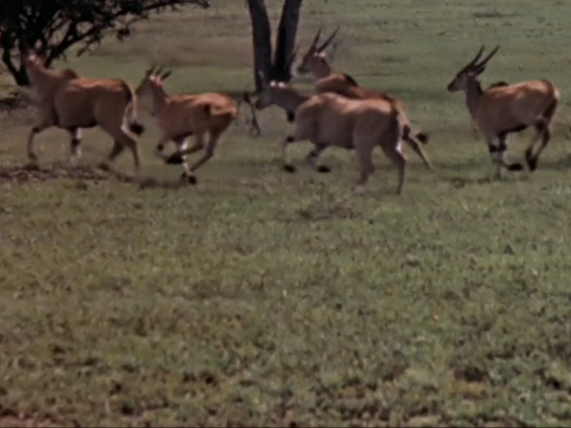 File:13. Common Eland.PNG