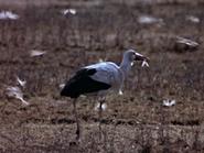 43. White Stork