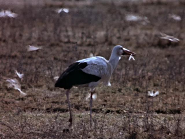 File:43. White Stork.PNG